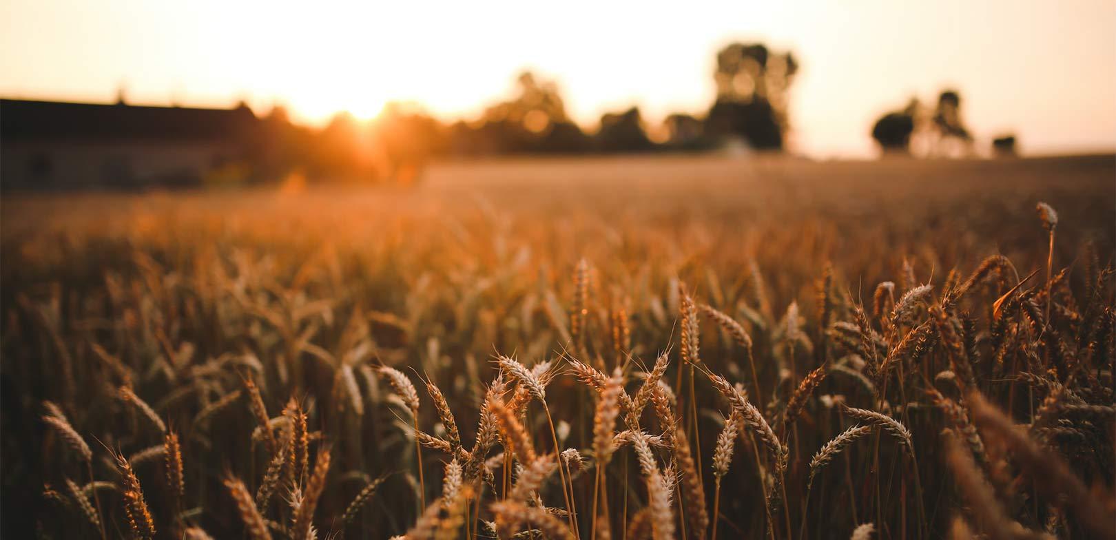 Header: ett vetefält i solnedgång
